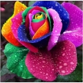 ShoppersCave Colorful Rainbow Rose Flower Seeds Multi-Color Rose 10 seeds